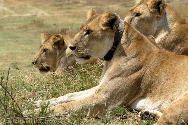 Eine Löwin trägt ein Sendehalsband.