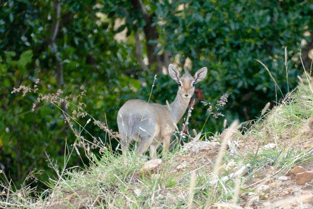 Dikdik - die kleinste Antilopenart