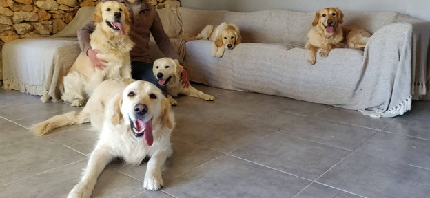 Pension canine les pattes libres Montpellier Golden Retriever