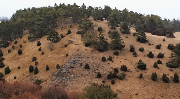 Wacholderheide Heide Wacholder Sammeln Juniperus communis juniper resin incense Räuchern Räucherwerk Räucherung