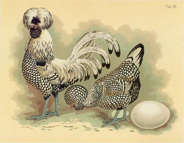 Paduaner silber-schwarzgesäumt - aus: Geflügel-Album : III Abtheilungen - 150 Tafeln / nach der Natur gemalt von Jean Bungartz, Thiermaler (1885)