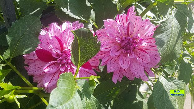Gefüllte, pinkfarbene Dahlienblüten von K.D. Michaelis