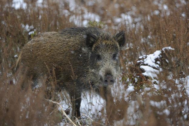 Nur wenn Politik, Behörden, Landwirte und Jäger Hand in Hand zusammenarbeiten, kann eine noch intensivere Bejagung der Wildschweine erfolgreich sein. Quelle: DJV