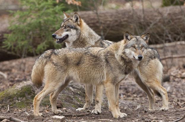Offensichtlich doch weniger scheu als vom Amtsnaturschutz kommuniziert: der Wolf Quelle: Rolfes/DJV