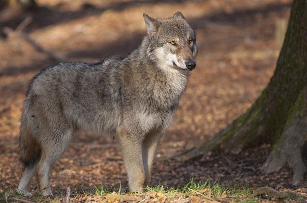 In Ostpolen soll ein Wolf am Dienstag zwei Kinder angegriffen haben. Unmittelbar nach dem Übergriff sei der Wolf erschossen worden.  Foto: Rolfes/DJV