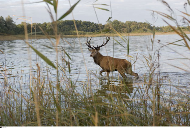 Dieser Rothirsch nimmt ein kühlendes Bad im See. Quelle: Tierfotoagentur T. Harbig