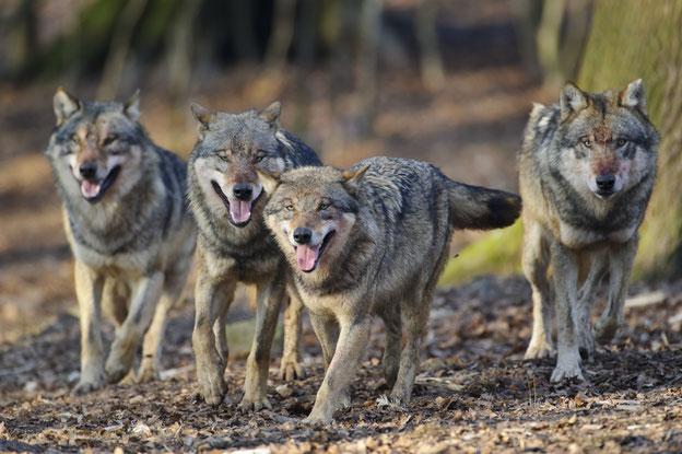 Wölfe haben seit vielen Jahren eine Vermehrungsrate von rund 30 Prozent jährlich: Die Population verdoppelt sich in weniger als drei Jahren. Quelle: Rolfes/DJV