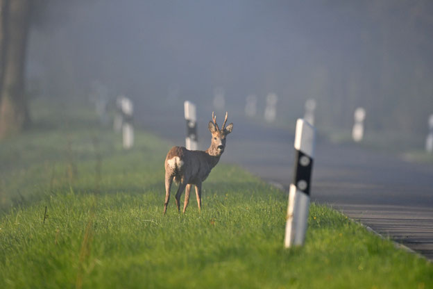 An 86 Prozent der Wildunfälle in Deutschland sind Rehe beteiligt.