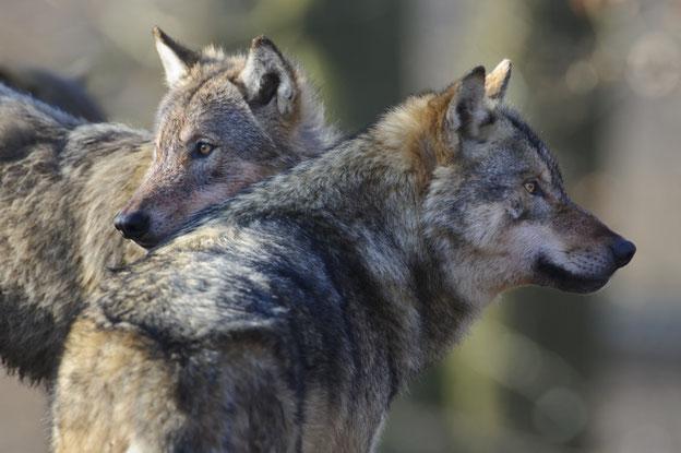 Der jährliche Zuwachs der Wolfspopulation liegt bei mehr als 30 Prozent – Tendenz steigend. 2017 haben Wölfe  im Landkreis Cuxhaven die ersten Deichschafe getötet und 22 ausgewachsene Rinder.  Quelle: Rolfes/DJV