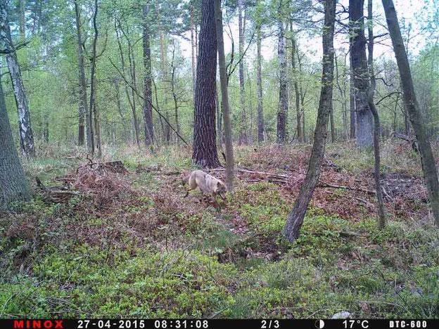 Eine Monitoringmöglichkeit der Jäger: Aufnahmen mit Wildkameras Quelle: Noltenius/LJV Sachsen