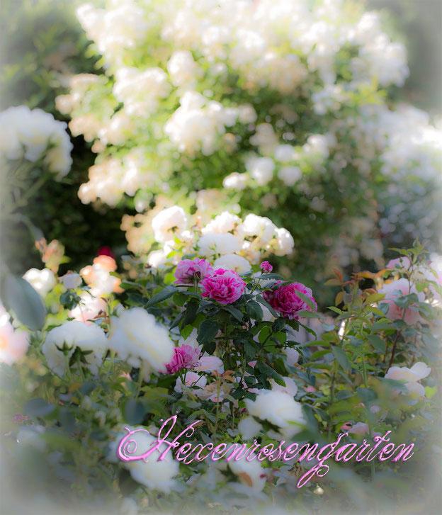 Rosen Hexenrosengarten Kletterrose Vorgarten Guirlande d'Amour Ferdinand Picchard