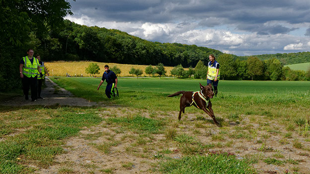 Mal ohne Leine der vermissten Person hinterherjagen dürfen: das steigert die Motivation! Labrador Olana genießt es, ungehindert rennen zu können.