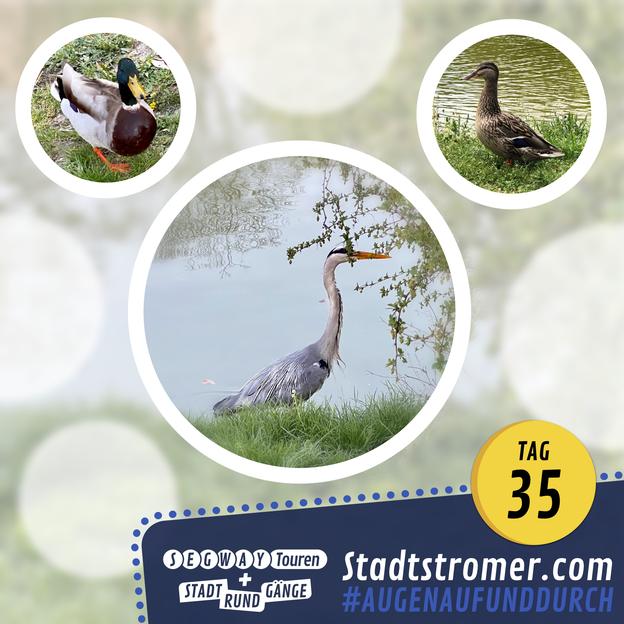 Enten und Graureiher am Schwanenteich in Leipzig