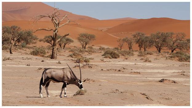 Oryx de Namibie