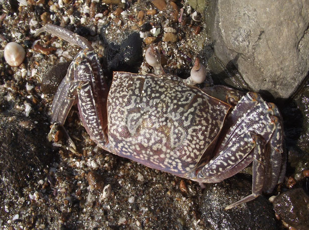 crab at Los Frailes