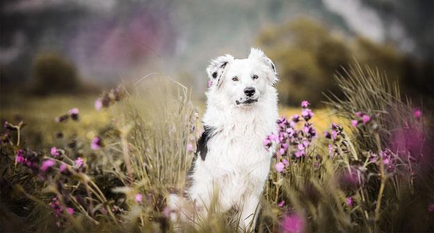Weisser Australien Shepherd in einer Wildblumen Wiese fotografiert von der Abenteuer Hunde Fotografin Monkeyjolie Ostschweiz