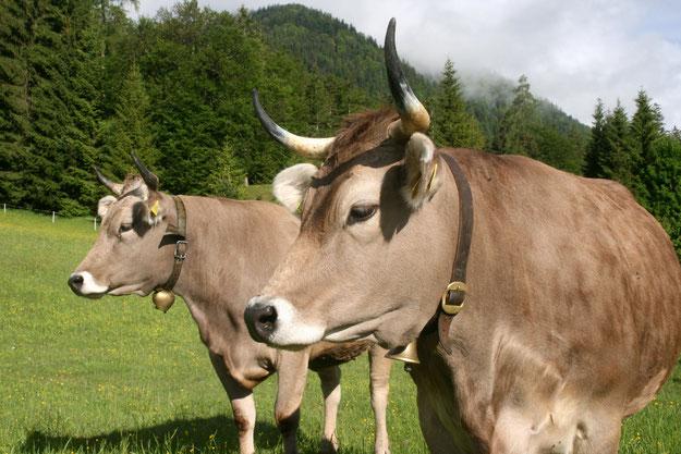 Kühe, Original Braunvieh, Hörner