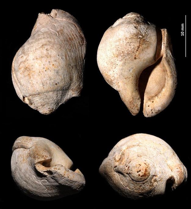 Gyrineum marginatum, Rio Rocca, Pliocene.