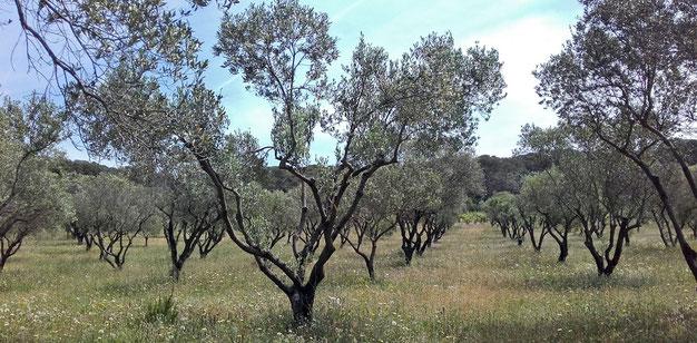 au début des années 80, un travail sur les oliviers du terroir