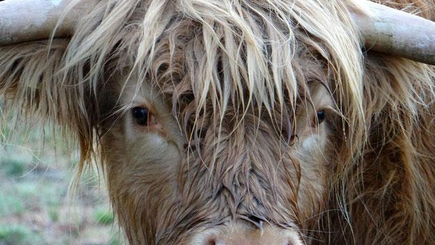 De knapste Schotse Hooglander!!