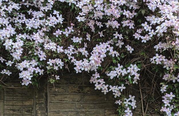 Clematis Montana een bloeiende en winterharde klimplant