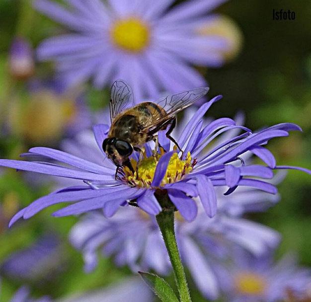 vlinders en bijen in de tuin
