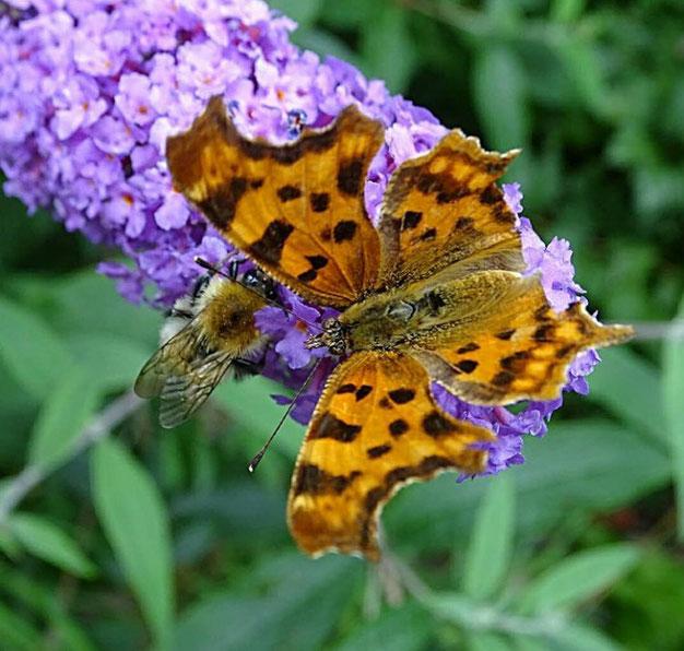 vlinderstruik insecten naar tuin lokken