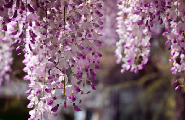Wisteria de bloeiende klimplant winterhard