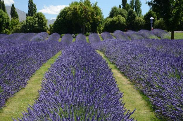 hoe snoei je lavendel