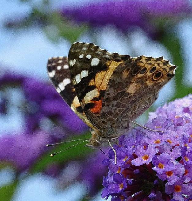 hoe moet je de vlinderstruik snoeien