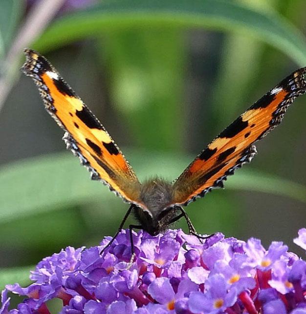vlinderstruik - handige tips die je moet weten
