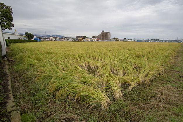 今日は泉橋酒造のイベント「稲刈り会」で、約200名の参加者が山田錦を手刈りする。雄町の収穫はもう少し先。9月の大型台風にも耐え、ここまで来た! もう少し!!