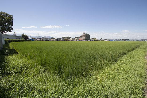 晴天のある日。緑に輝く雄町の株間を、時折り強い風が吹き抜けていく。「風が吹くと害虫が飛ばされるからいいんだ」とは、さがみ酒米研究会・池上氏の言葉。