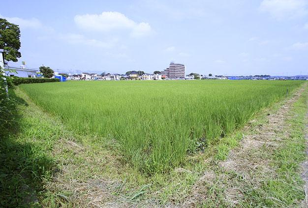 「夏」の田んぼ。緑色のカーペットがそのまま隆起したような風景が広がる。飯米なら収穫できそうな高さ(1本測ってみると87センチあった)だが、雄町の本領発揮はこれから。まだまだ伸びる!