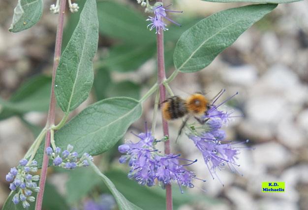 Blätter, Knospen und geöffnete, blaue Blüten der Bartblume inkl.  Wildbiene von K.D. Michaelis