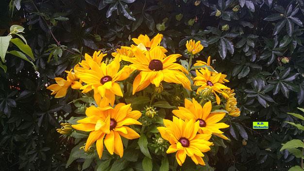 Gelber Sonnenhut mit besonders großen Blüten - eine sehr beliebte Bienenweide von K.D. Michaelis
