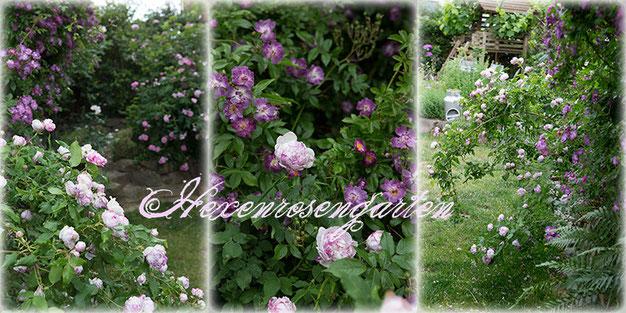 Rosen Hexenrosengarten Farbharmonische Kombination: Veilchenblau und Province Panachee