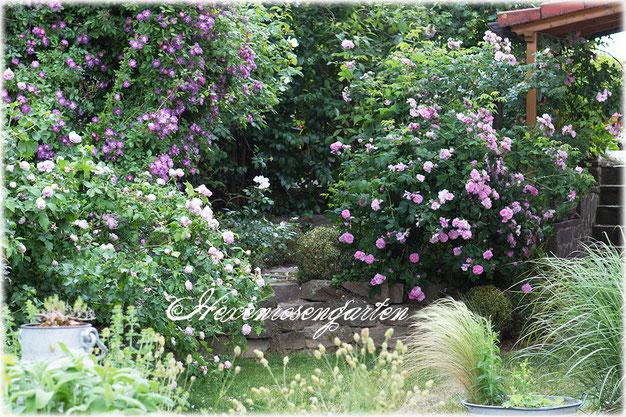 Rosen Veilchenblau, Province Panachée und Ispahan im Hexenrosengarten