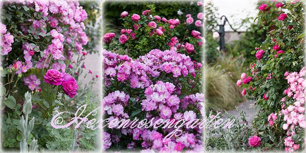 Rosen Hexenrosengarten Lavender Dream, Old Port, Leonardo da Vinci und Rose de Resht im Vorgarten