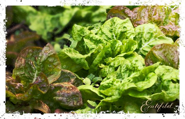 Salat Pflanzen im Garten