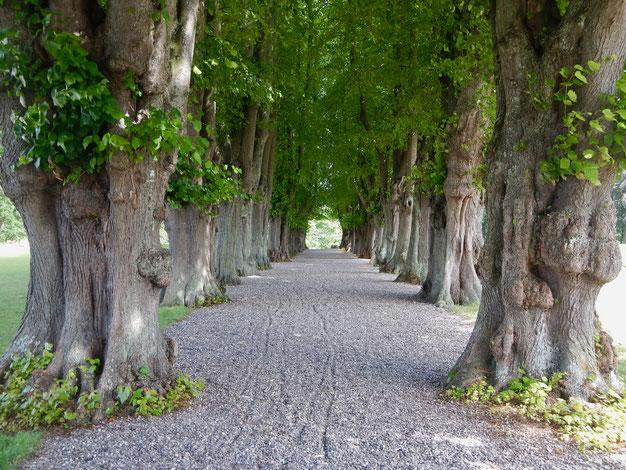 Buchenallee im Park von Schloss Nordborg