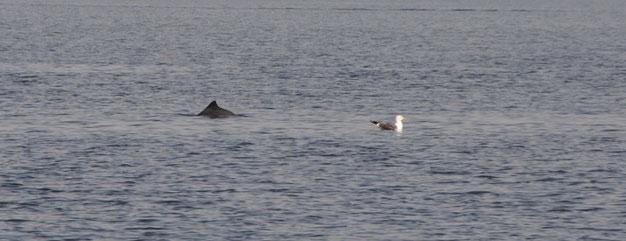 Zur Begrüßung im Snævringen- Schweinswal und Möwe