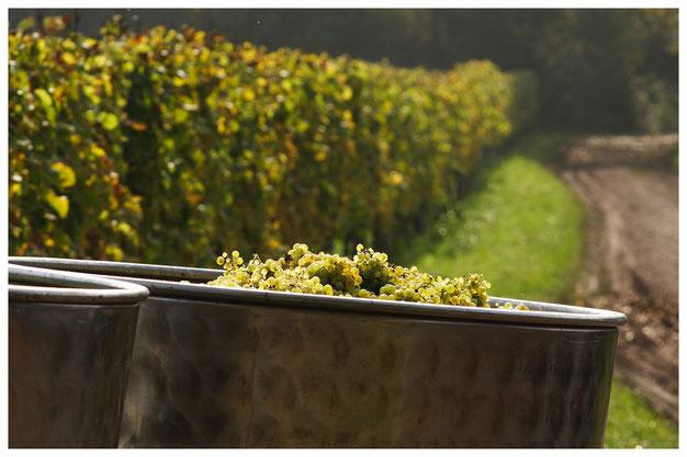 Ausbau unserer Rotweine in Barriquefässern