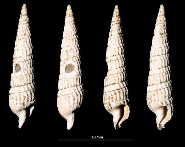 Strioterebrum pliocenicum, calanchi di Sabbiuno (BO)