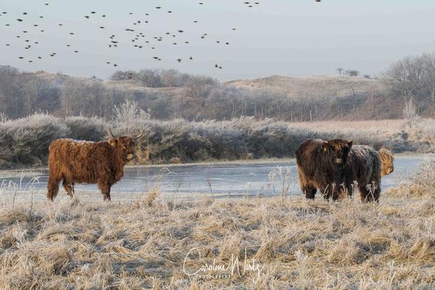 Schotse Hooglanders | Lentevreugd Wassenaar