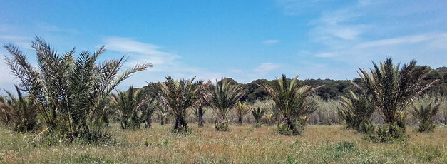 des palmiers dattiers provenant du Maroc