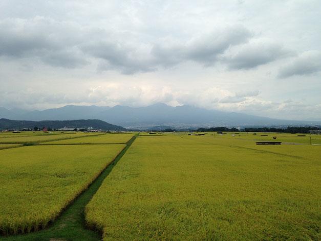 浅間山と刈り入れの近い稲