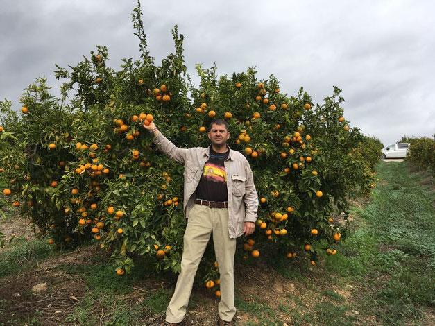 Sonnengereifte Orangen und Mandarinen wachsen am Baum in Spanien