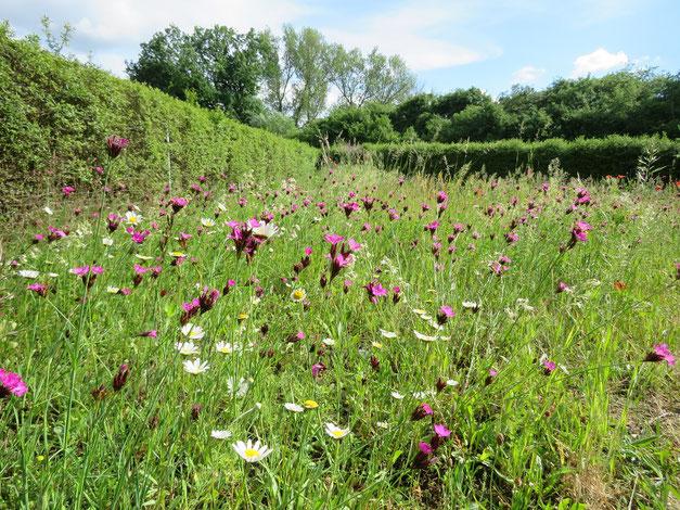 Wildblumenwiese mit einheimischen Blumenwiesenarten wie Karthäusernelken und Wiesen-Margeriten.