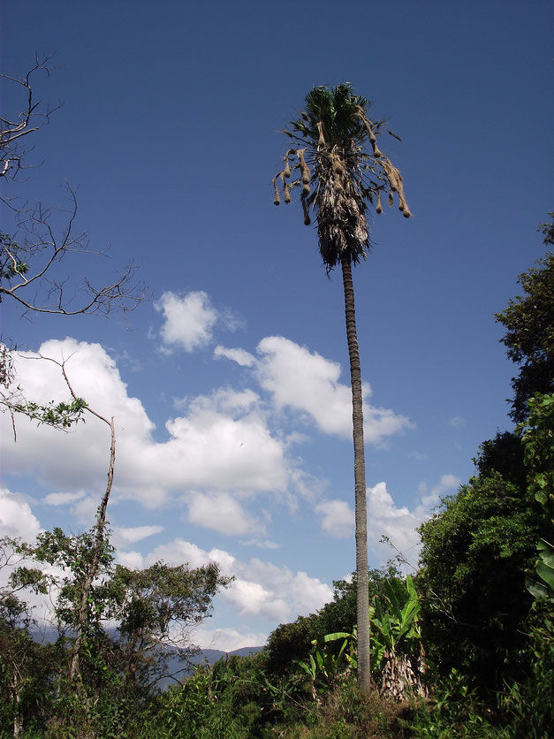 Tree and hanging nests in Coiroco, Yungas, Bolivia